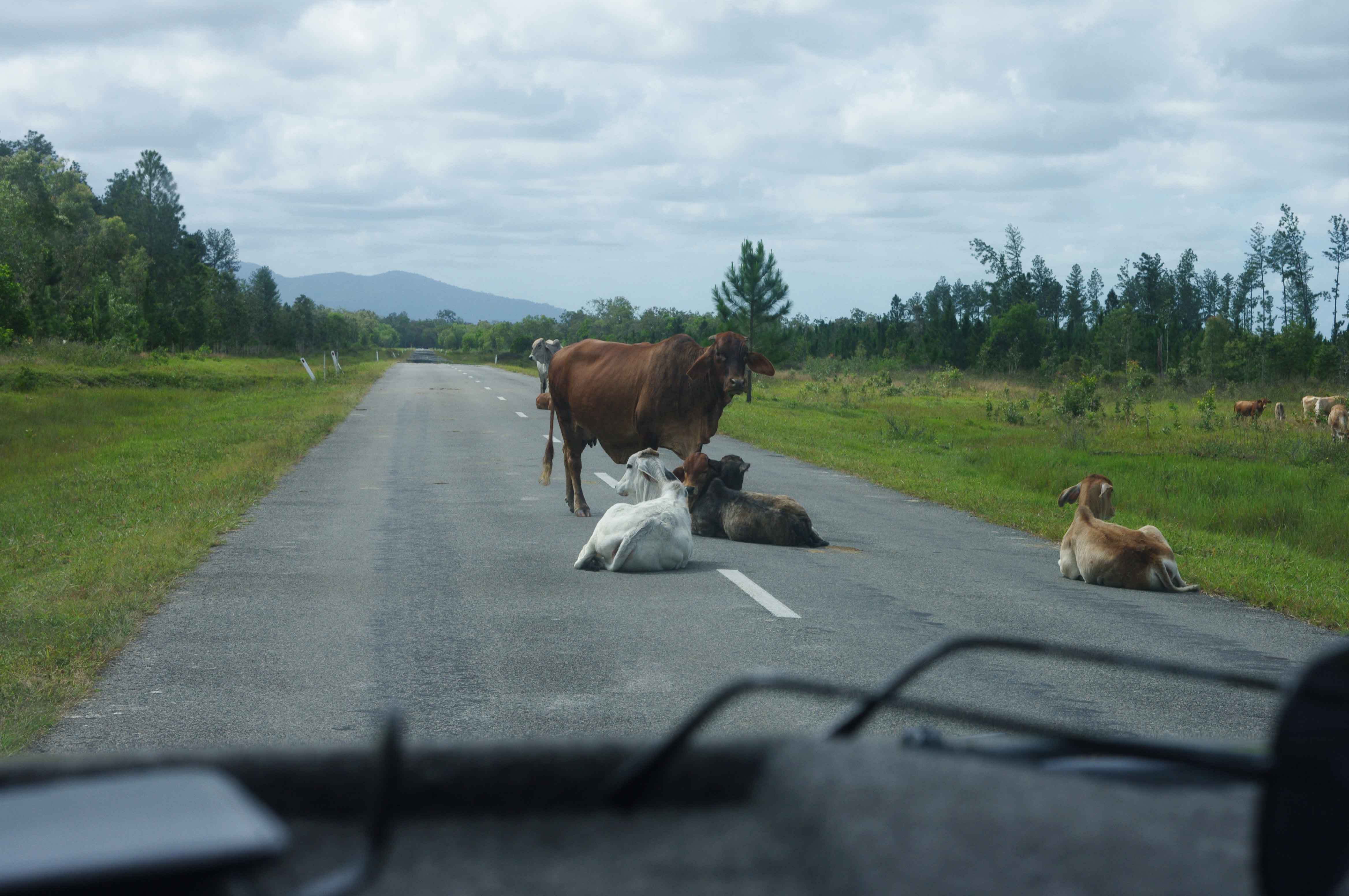 Cows and cattle on the road
