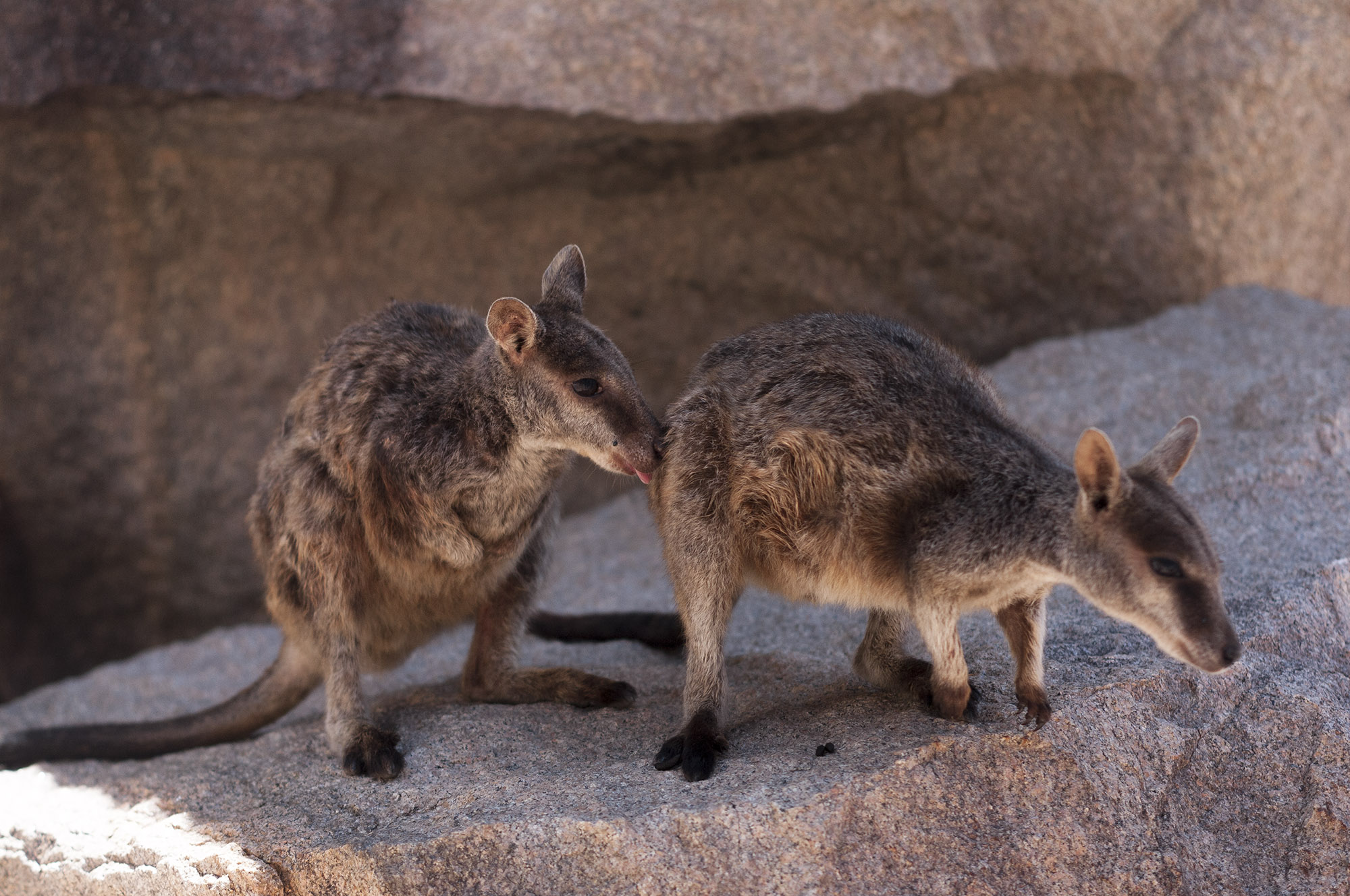 rock wallabies magnetic island geoffrey bay