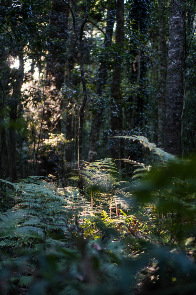 Light in the morning on the Cascade Circuit in the Bunya Mountains