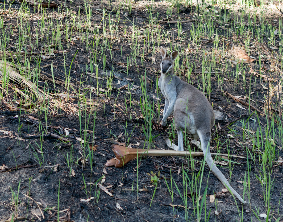 Wallaby next to the walking track at Carnarvon Gorge