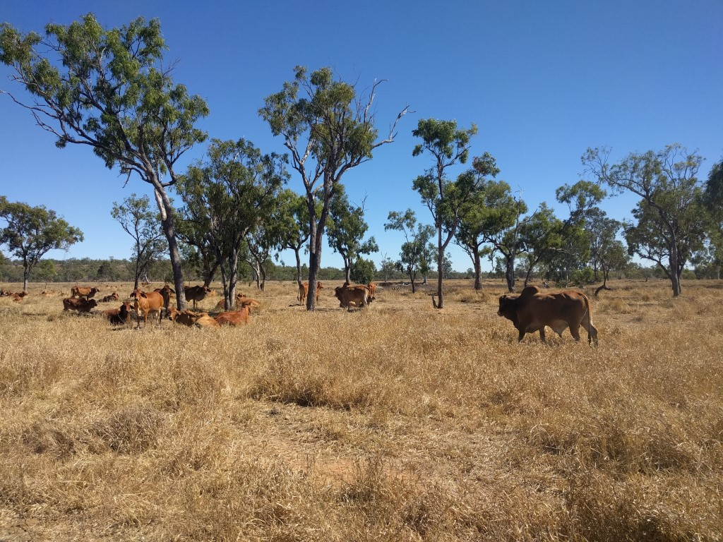 Cows in Australia's outback