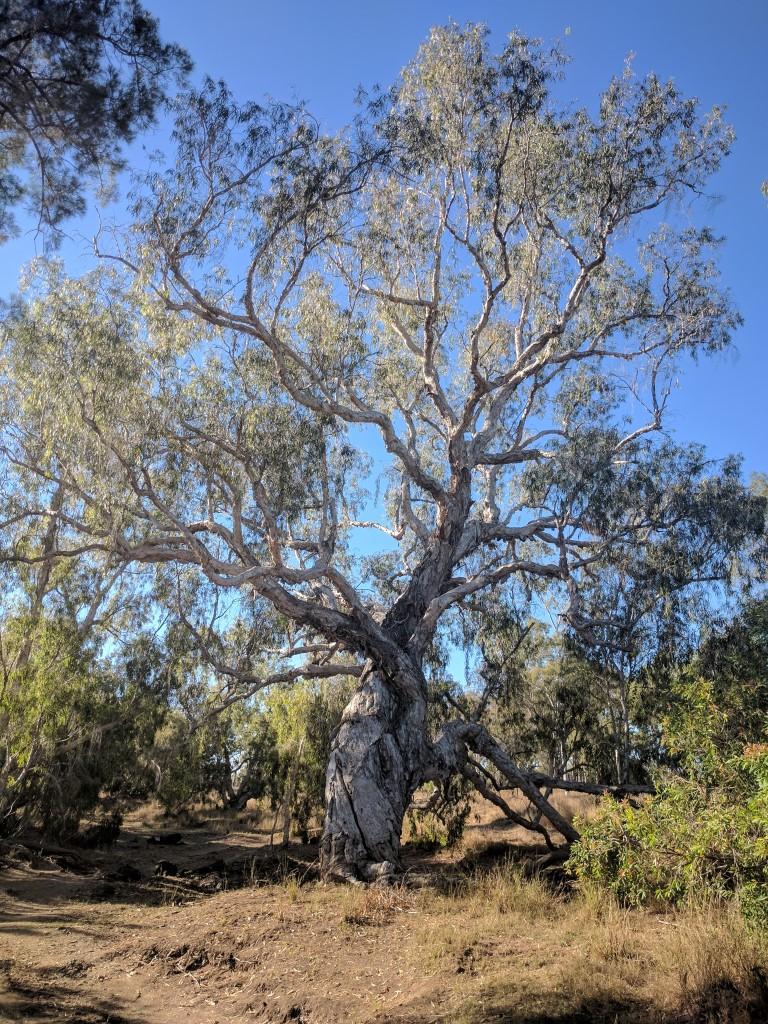 Large paperbark tree