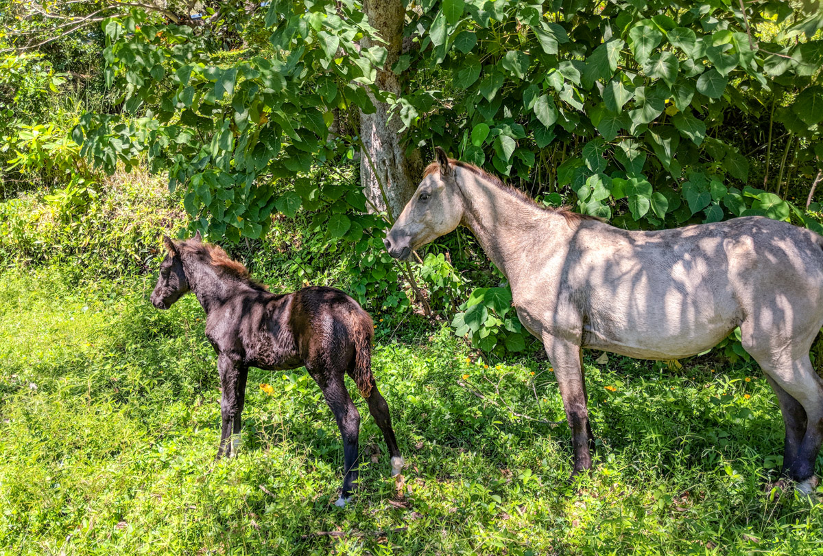 wild horses on Palm Island