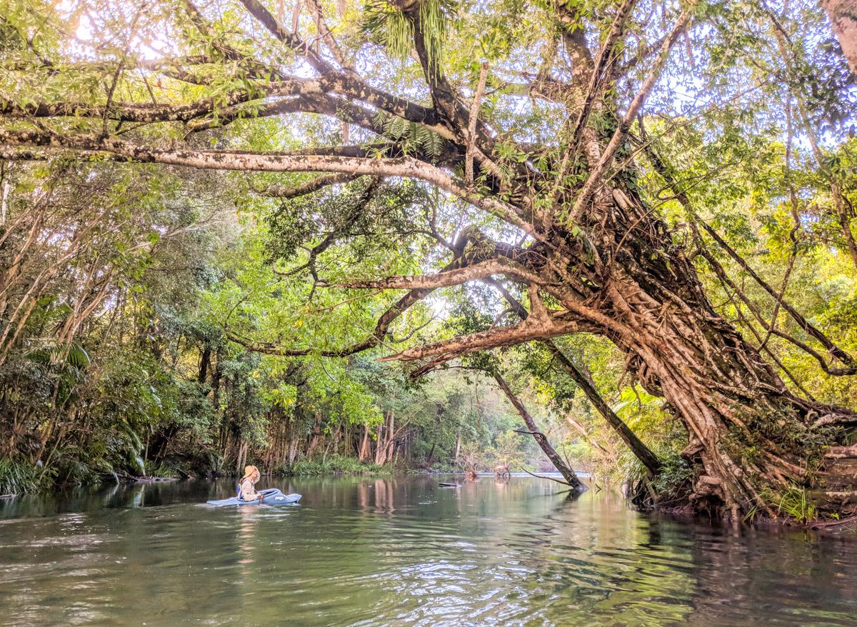 Broadwater Creek fig tree & kayak