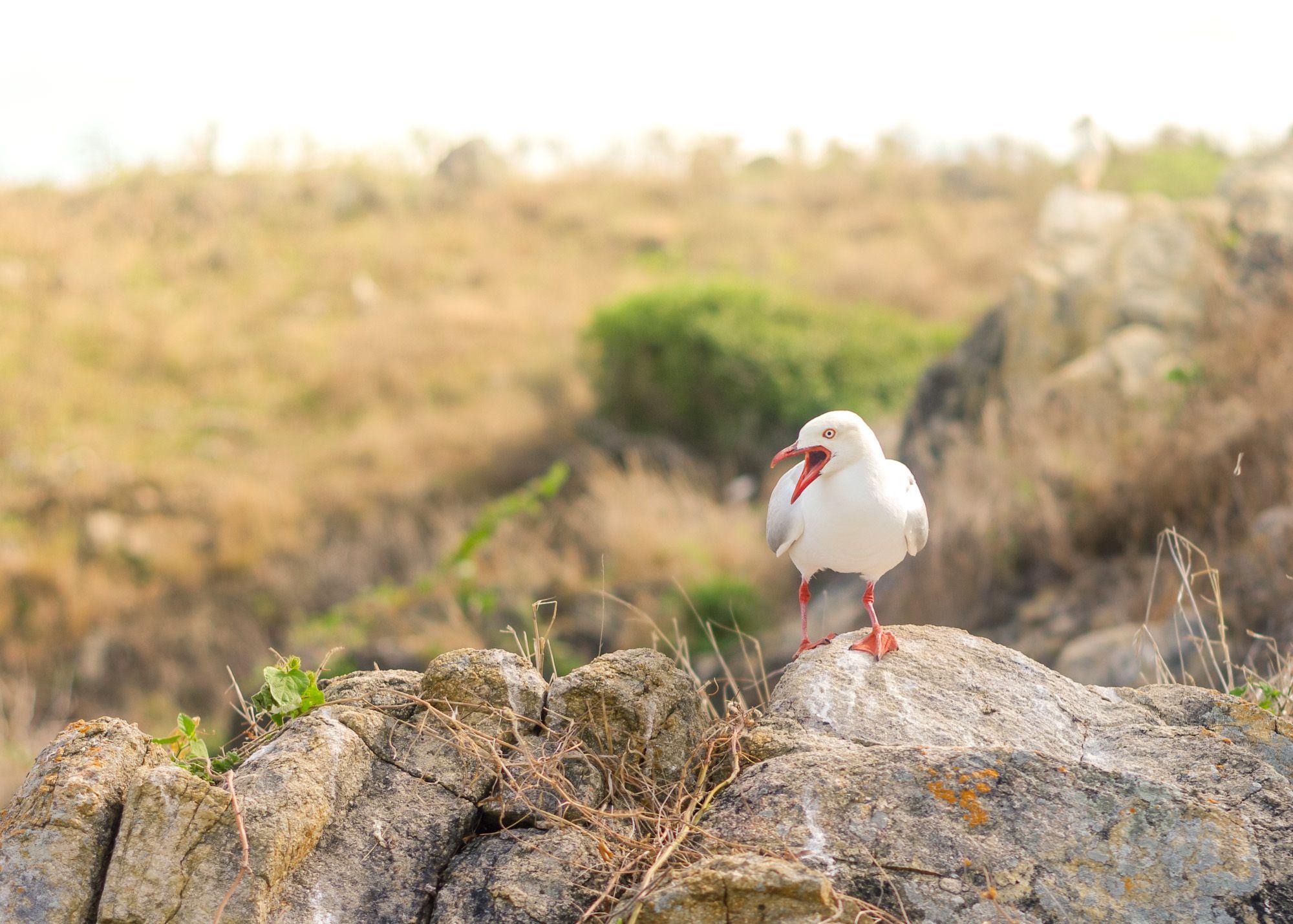 Pigeon squarking