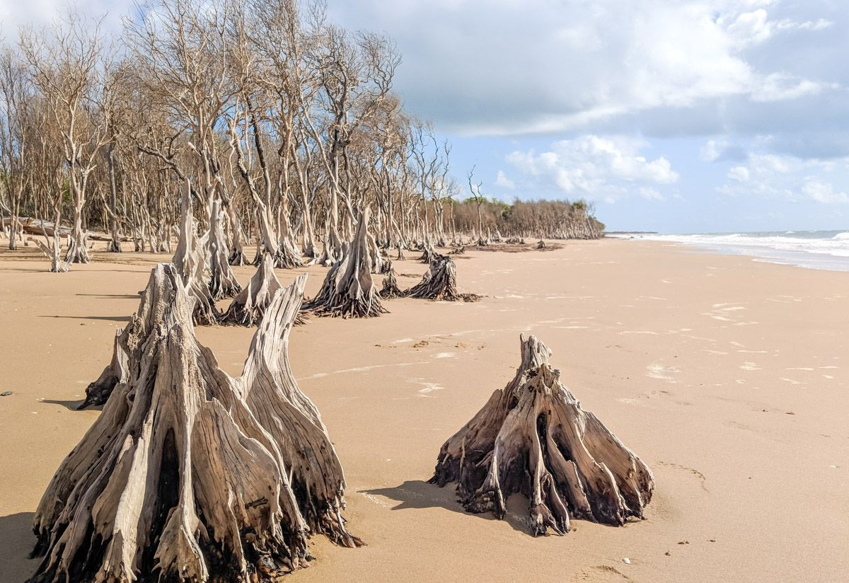 dead mangrove forest