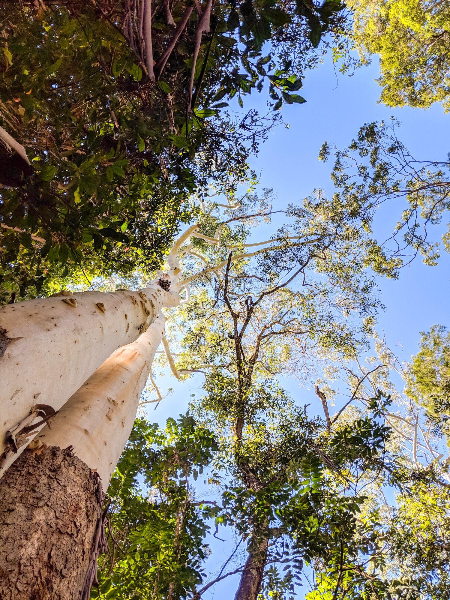 gum trees hermit creek paluma