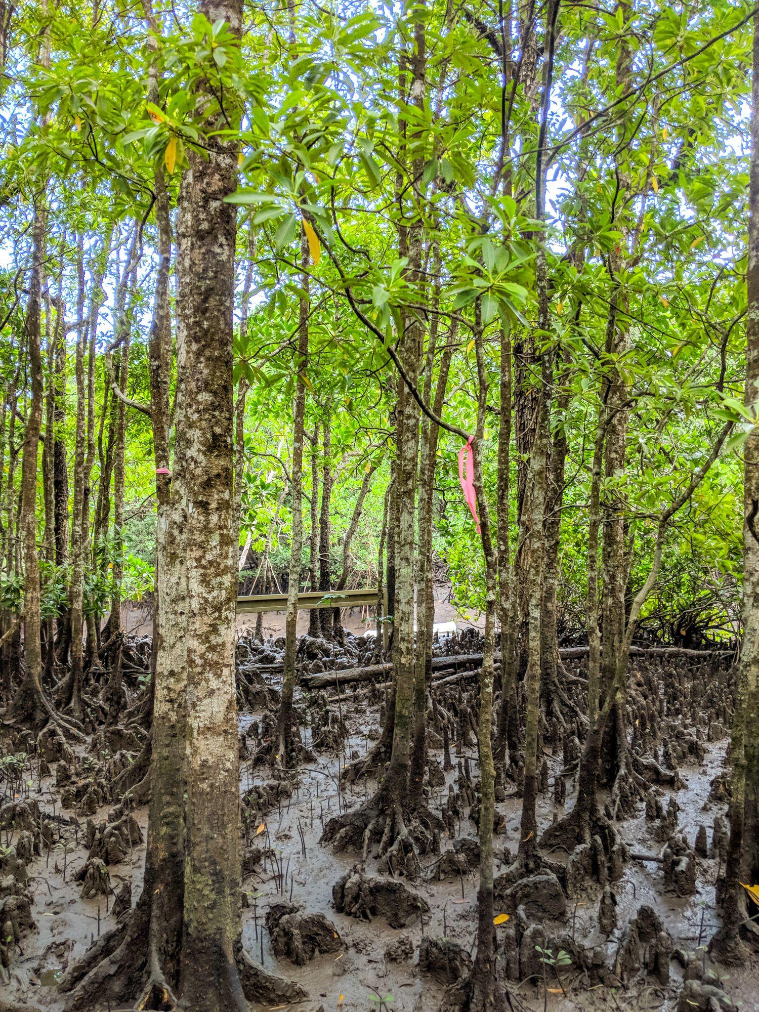 mangroves hike