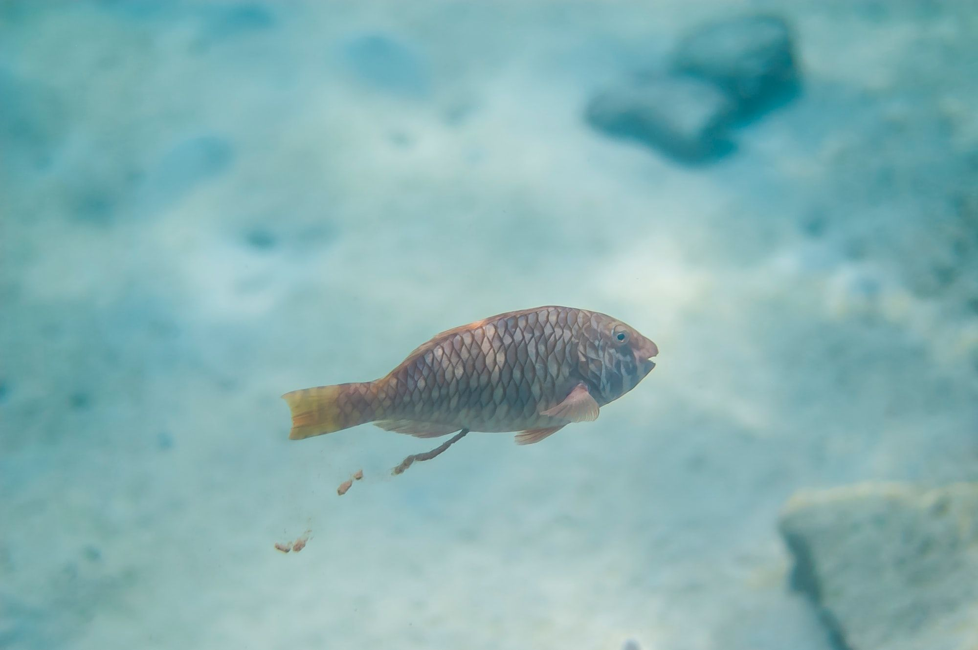 A brown parrot fish happily pooping in the sea