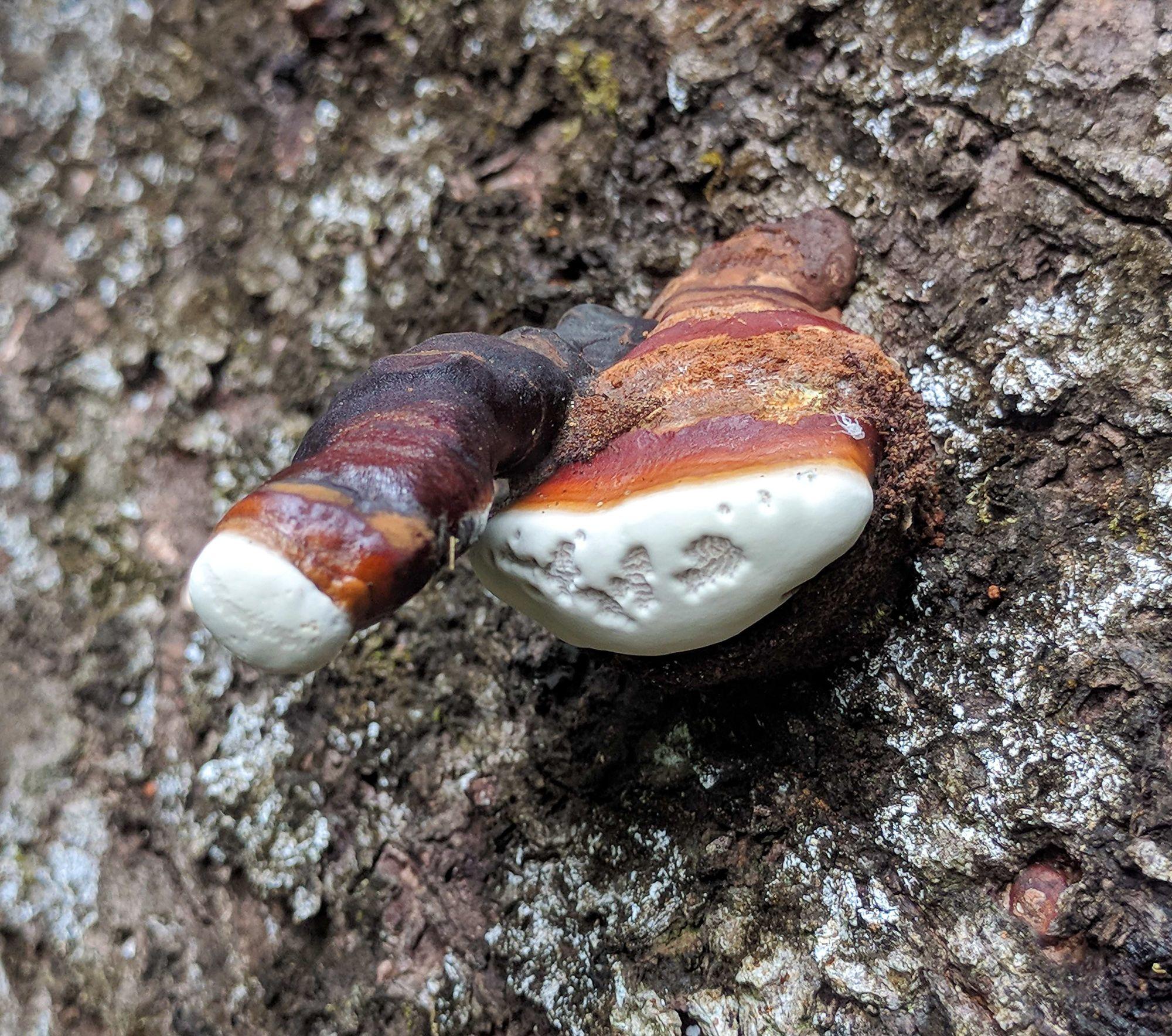 daintree fungus