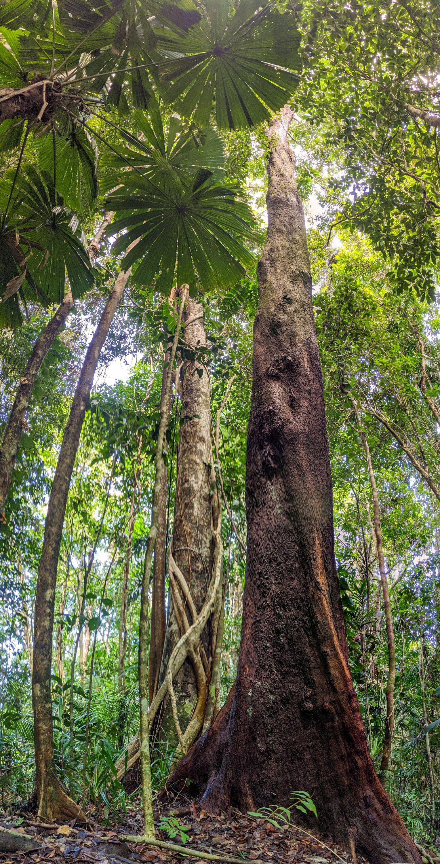 mt sorrow tall tree