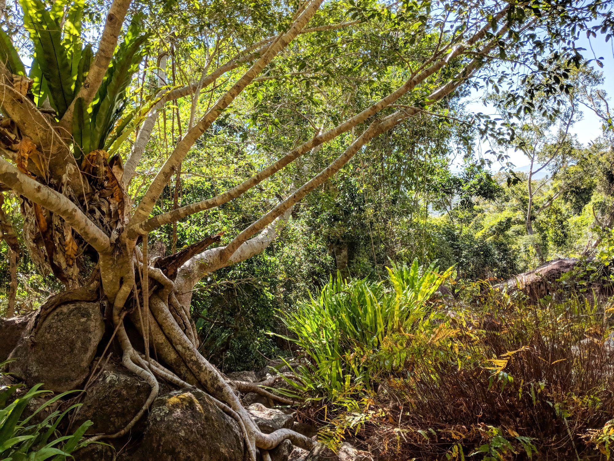 fig tree boulders