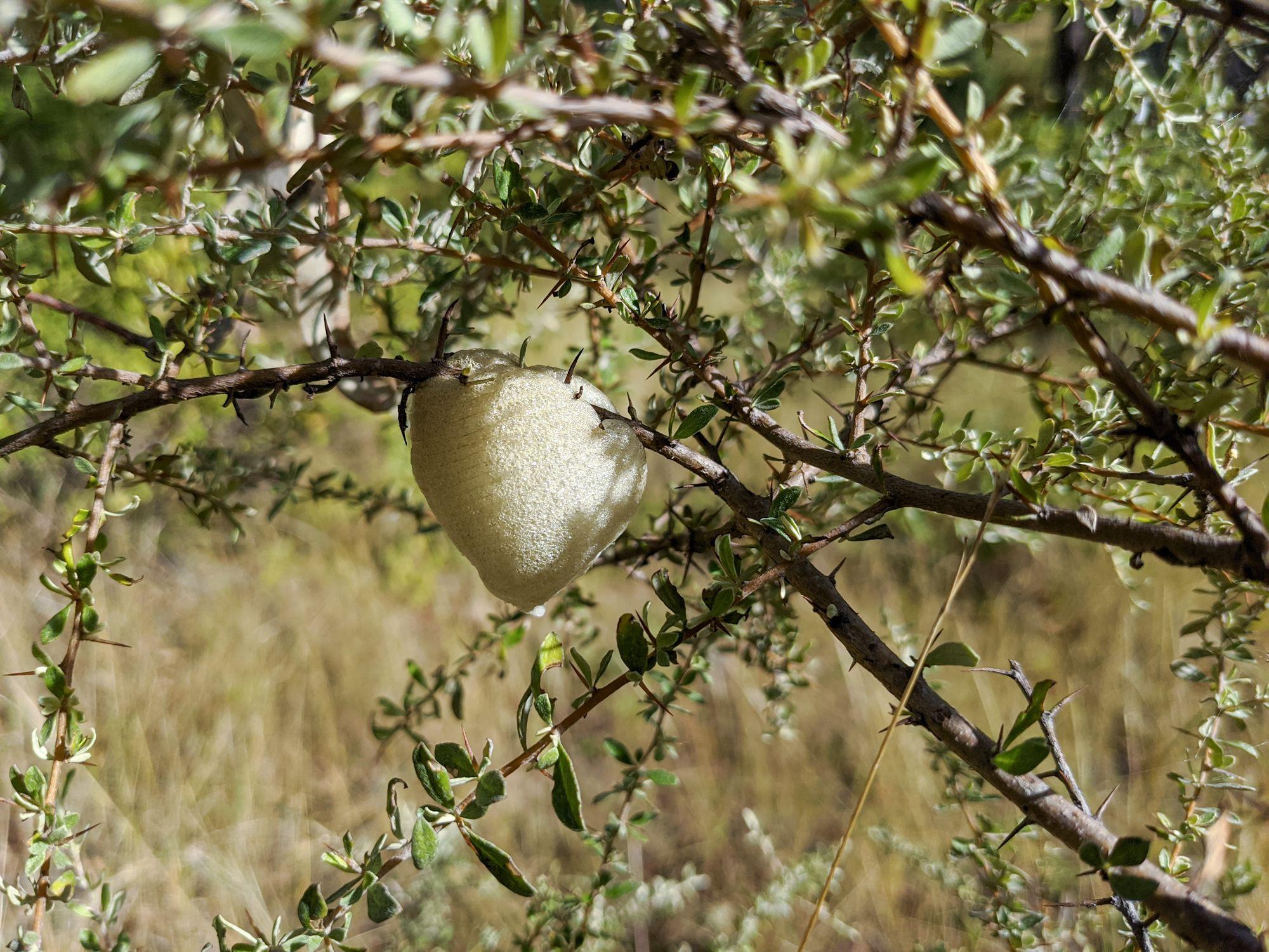 Bursaria praying mantis egg