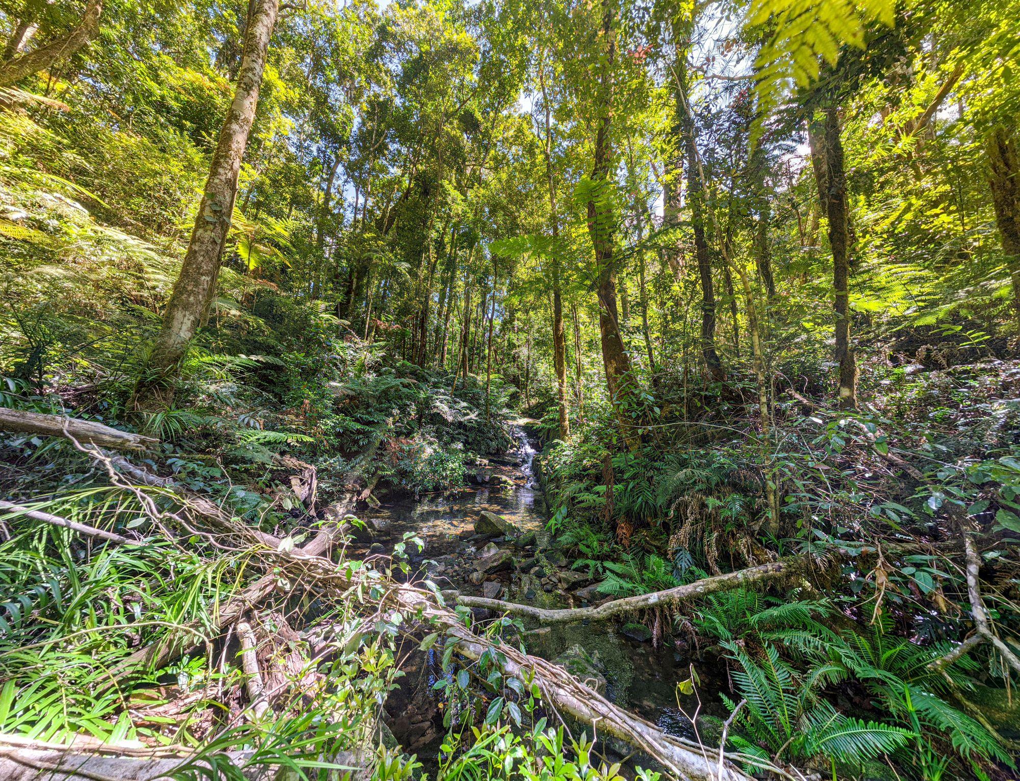 bullocky tom rainforest