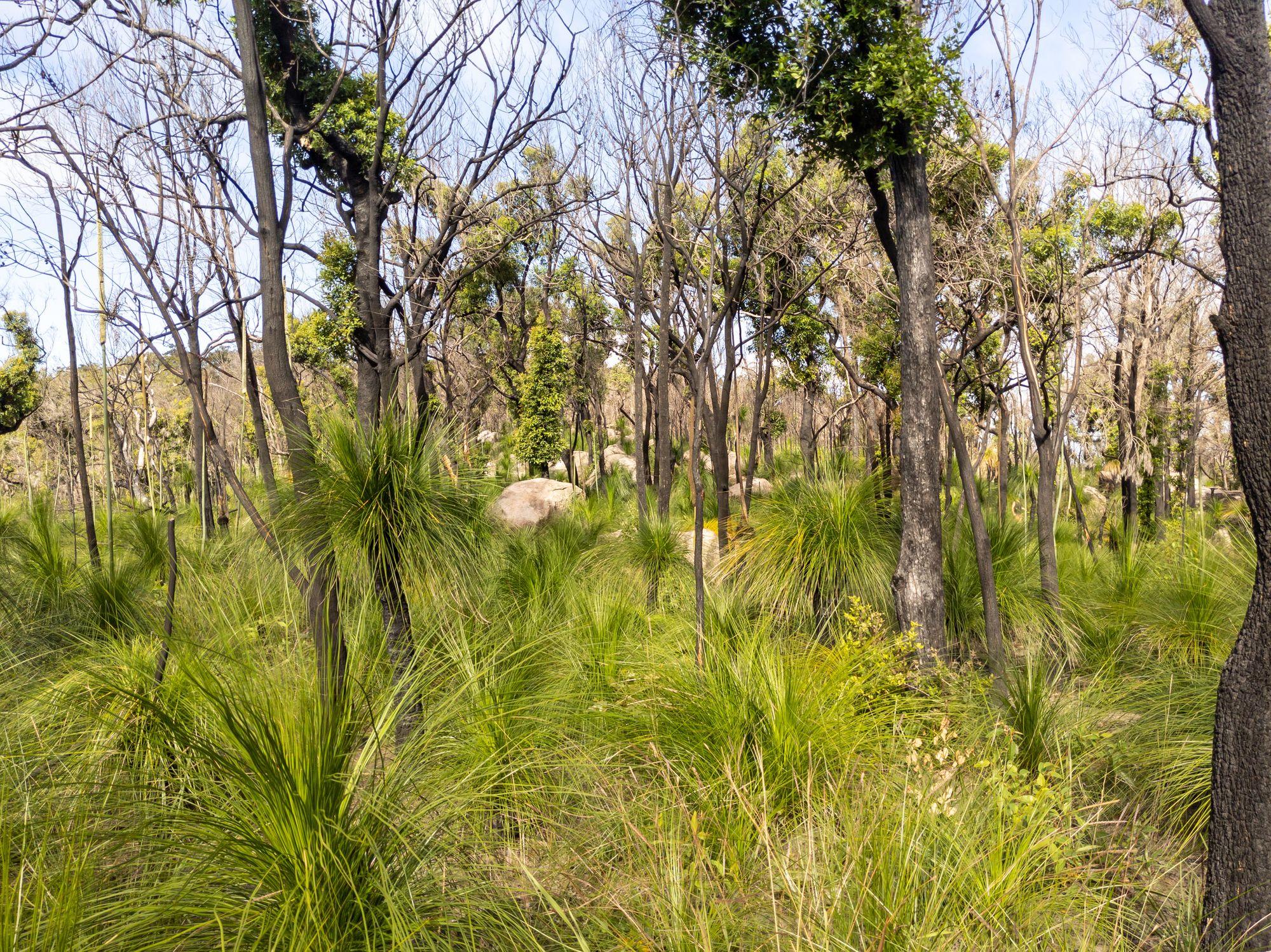 grass tree bushland mt storth