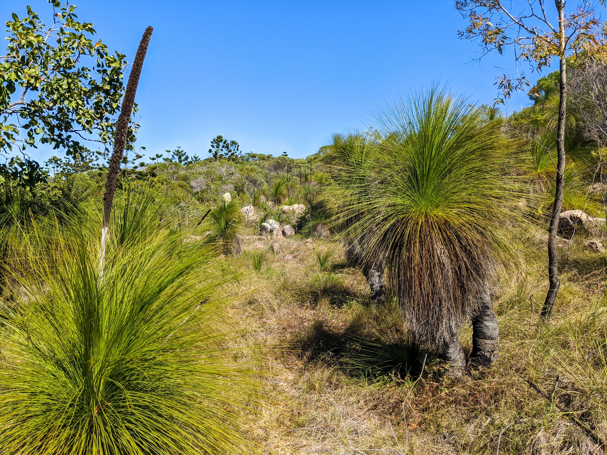 mt paluma track magnetic island grass trees