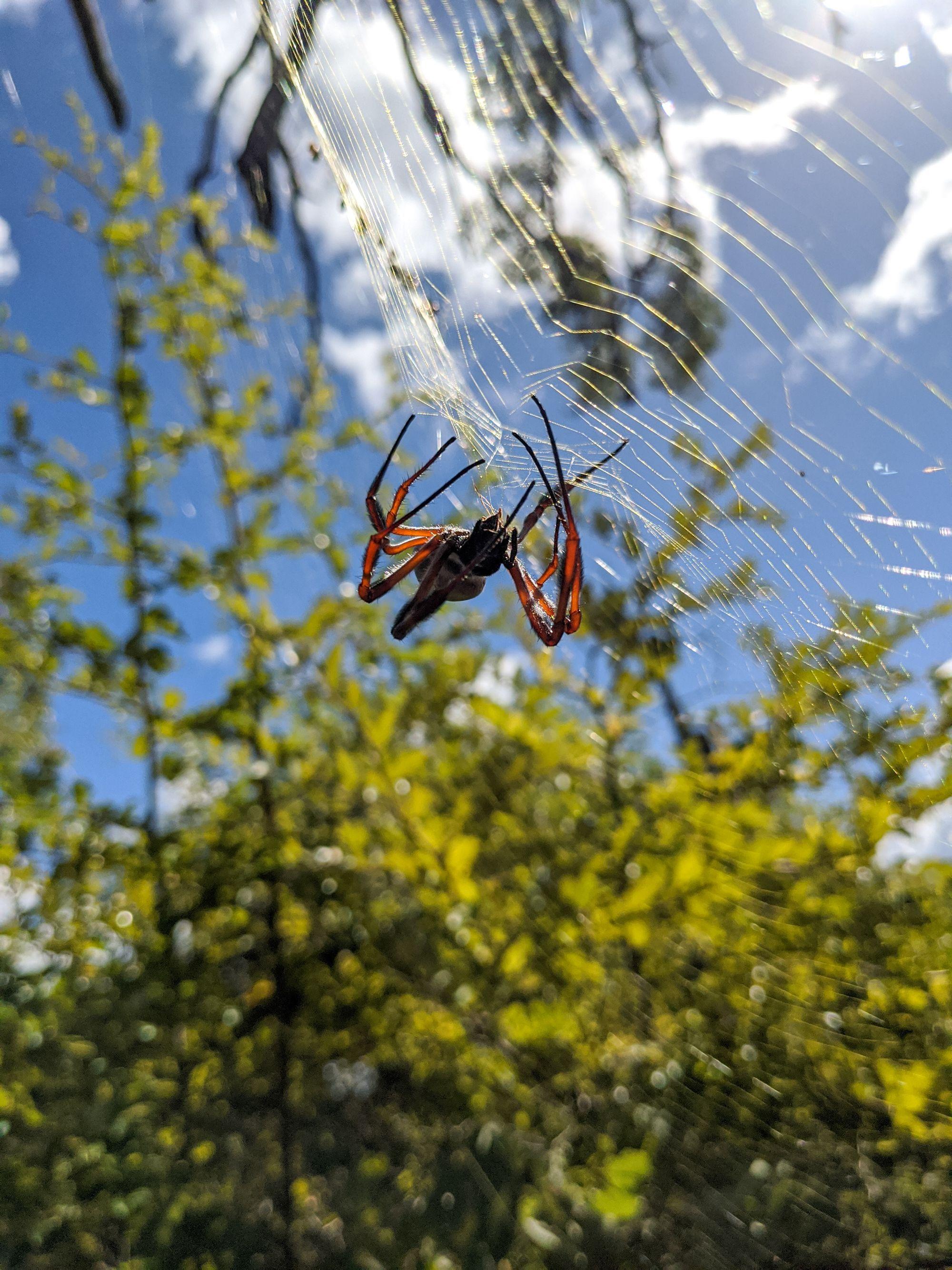 spider Nephila spp.