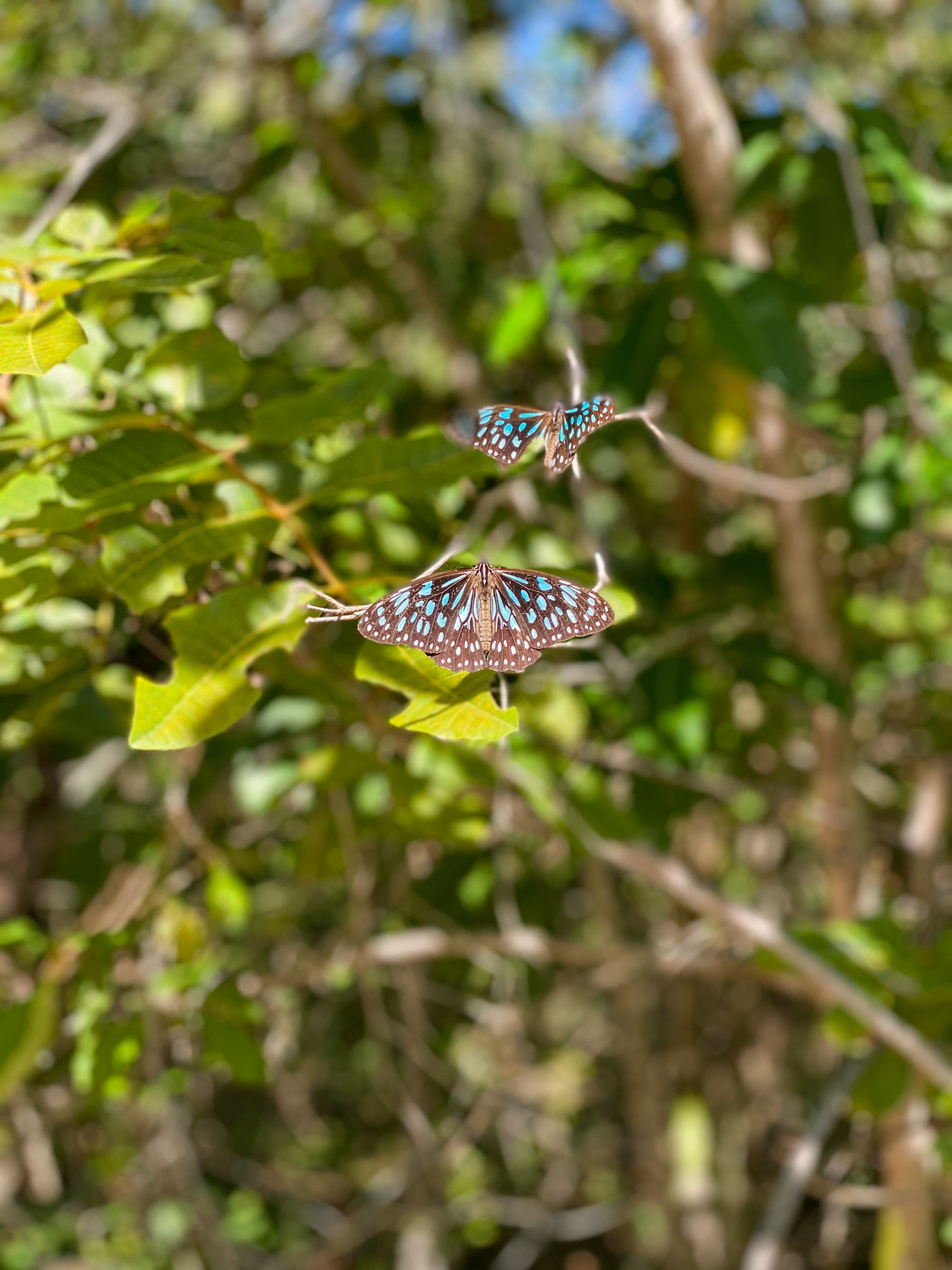 magnetic island butterfly walk