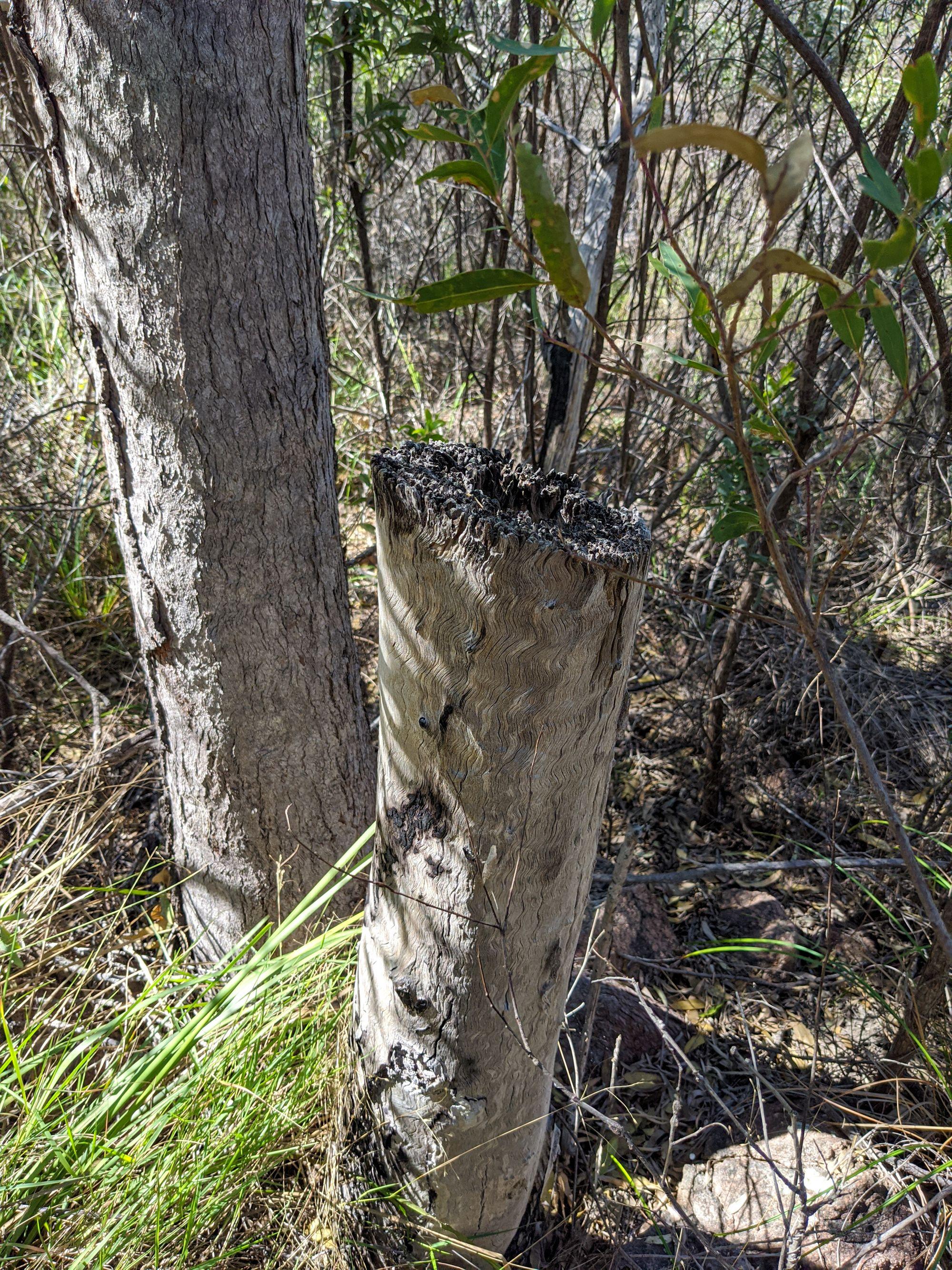 Mt Burrumbush Feltham Cone cut ironbark trees