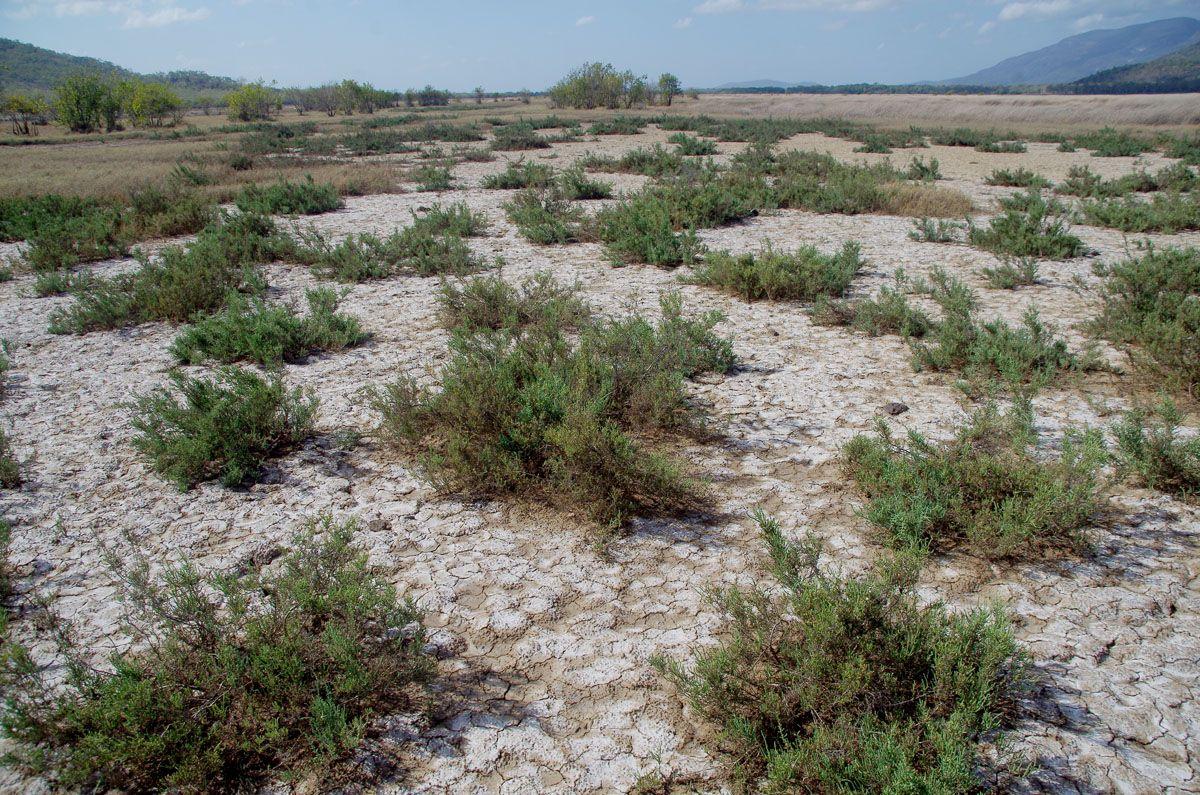 giru saltpan plants