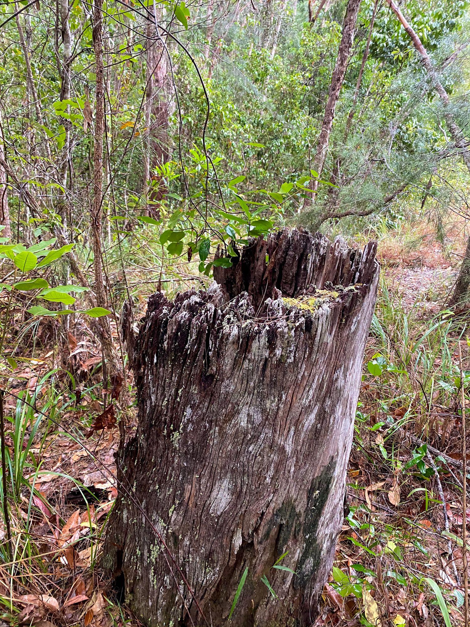 cut tree bluegum