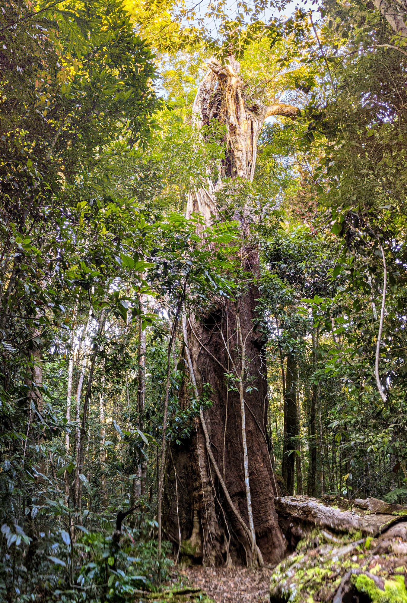 giant tree k traverse