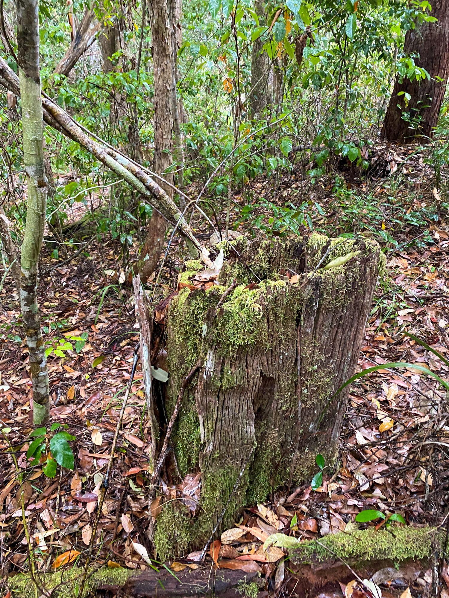 tree stump bluegum