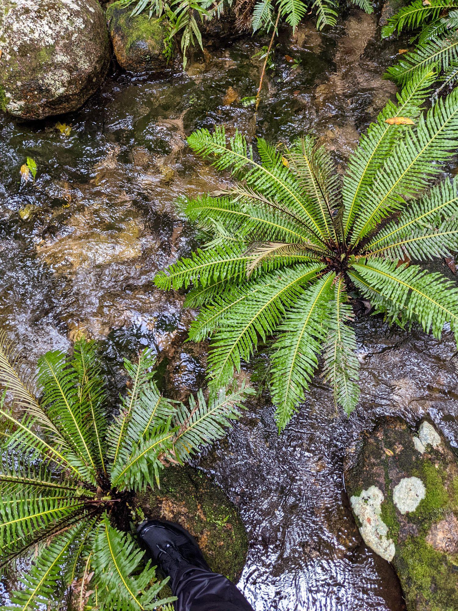 creek ferns