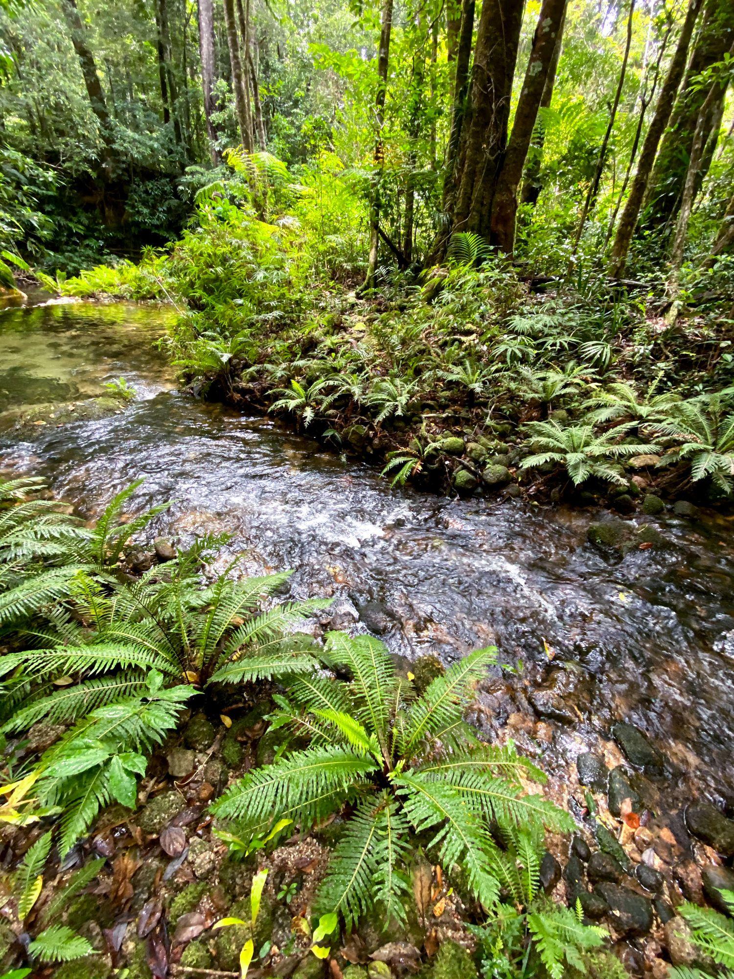 mid double barrel creek rainforest ferns
