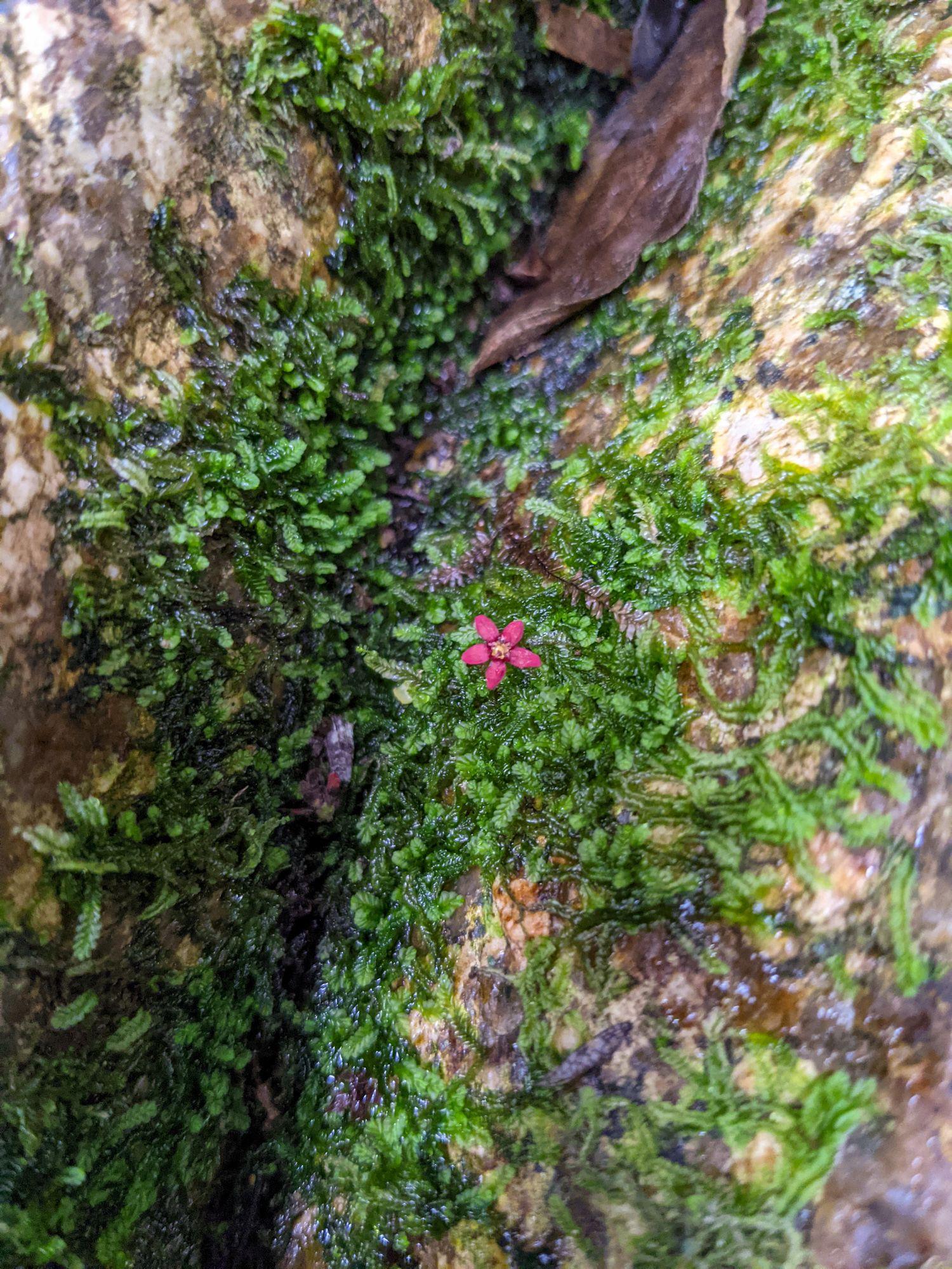 paluma flower
